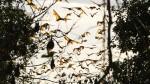 flying fruit bats pic bynatgeo