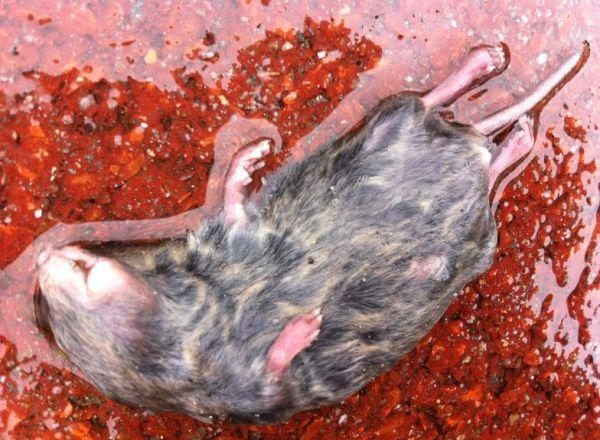 muis, dood 2